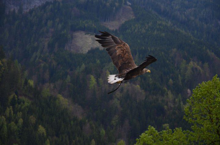 animal-bald-eagle-bird-53587
