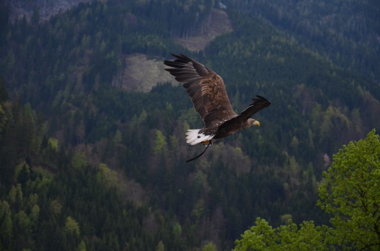 animal-bald-eagle-bird-53587